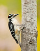 Hairy Woodpecker on Aspen