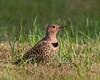 Northern Flicker 2560