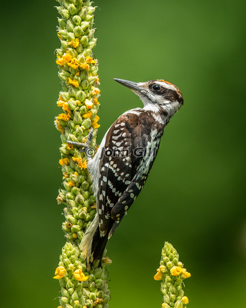Hairy Woodpecker on Mullein
