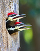 Where's Mom (Pileated Chicks)