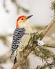 Red Bellied Woodpecker - Winter
