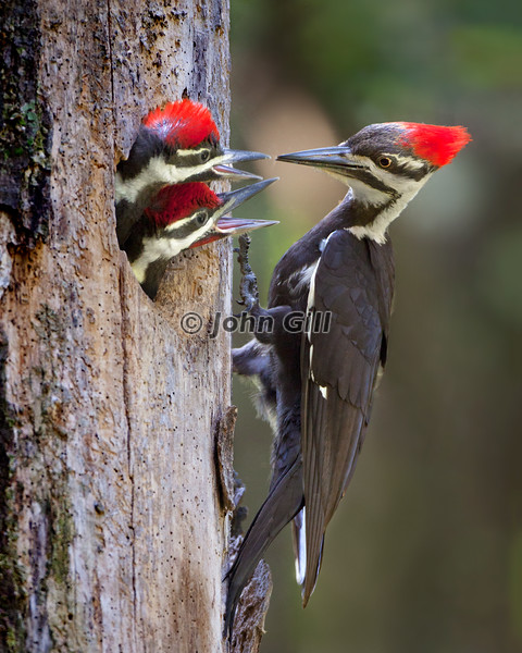 Pileated Feeding Time