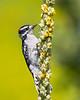 Downy Woodpecker on Mullein