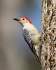 Red Bellied Woodpecker #5295