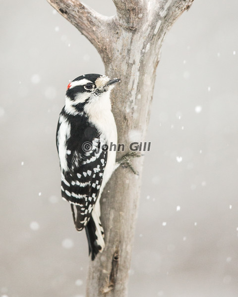 Downy Woodpecker in Snow Storm