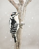 Downy Woodpecker in Snow Storm