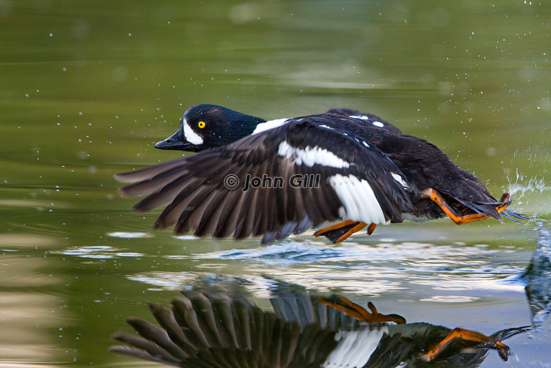 Barrow's Goldeneye Takeoff