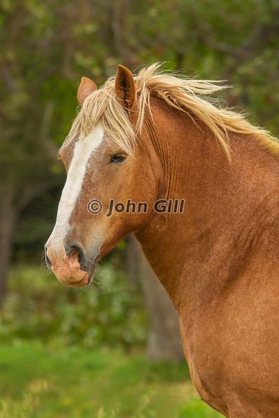Belgian Horsepower