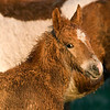 Chincoteague Foal