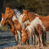 Chincoteague Five