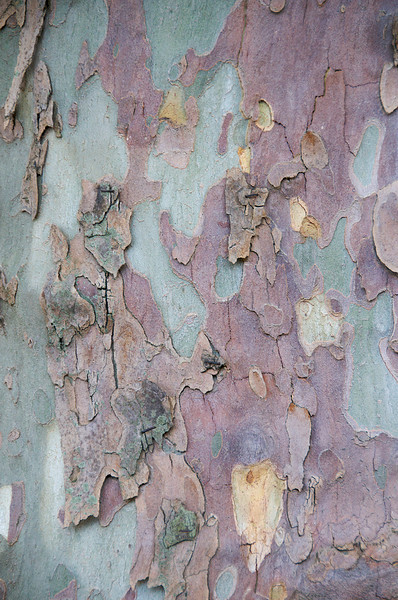 Bark of the plane tree