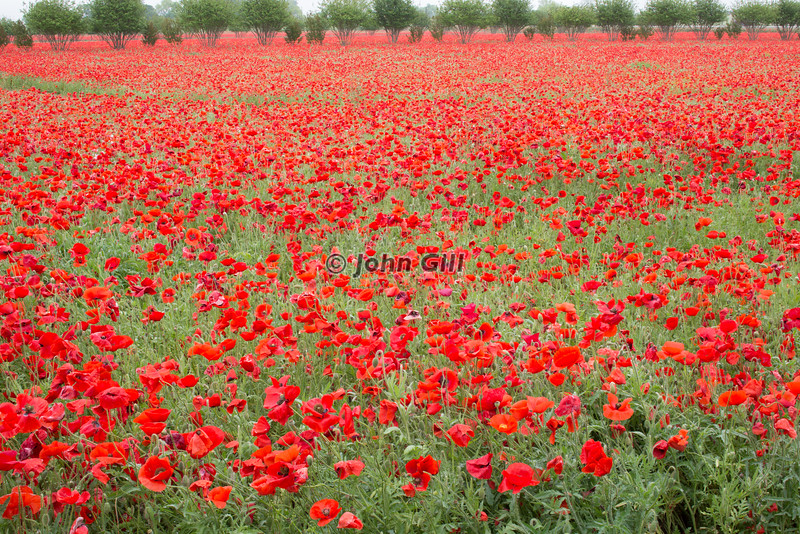 Poppy Field, Texas