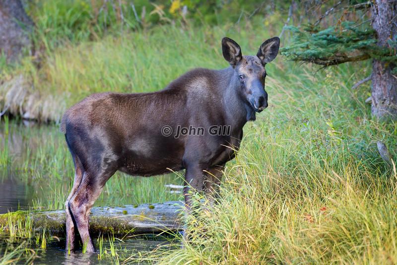 Moose Calf # 7282