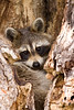 Raccoon 3744