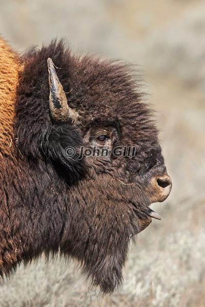 Bison 4010