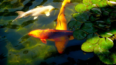 Koi and Water Lilies Swami's - Encinitas, California
