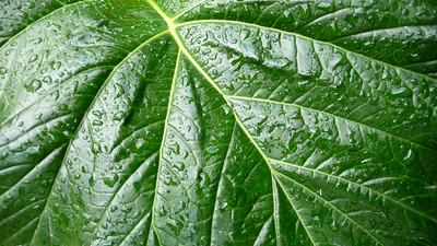 Elephant Ear Leaves Healdsburg, California  Well, I wish I could say that I shot this deep in the Amazon or some exotic spot. Actually, this amazing leaf was right outside my door in Sonoma County. It just proves that you can find a great shot anywhere!