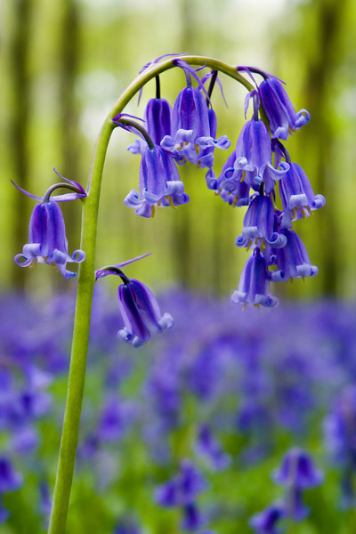 Bluebells, Hampshire, England
