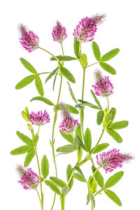 Trifolium Rubens Red Feathers