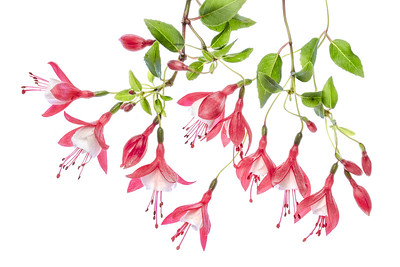 Fuchsia 5
