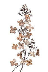 Hydrangea paniculata 2