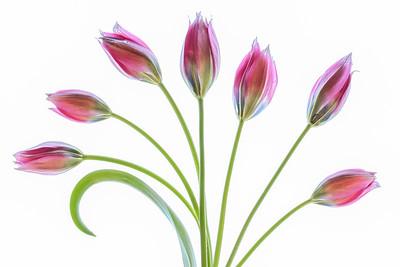 Tulipa Hageri