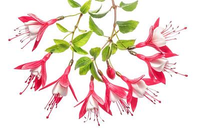 Fuchsia 9