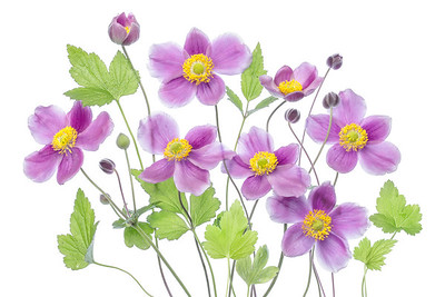 Japanese Anemone 'Hadspen Abundance'