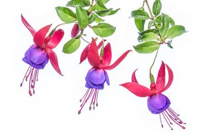 Fuchsia 7