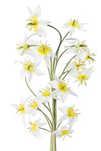 Tulipa tarda 3