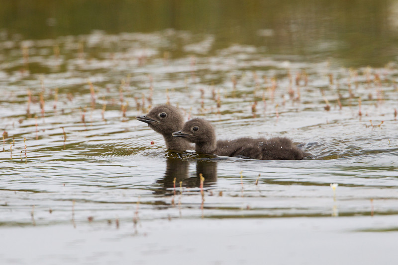 Red-throated diver (Gavia stellata) or red-throated loon chicks. Taken near Bakkagerði, East Iceland.