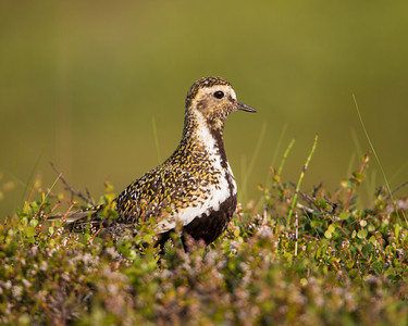 """""""Golden on Green""""  This one is for my new Facebook friend, Guðmundur Hjörtur, one from his country of Iceland. A country to be proud of! This bird is a European golden plover (Pluvialis apricaria). Taken in Jökulsárgljúfur National Park, Northeast Iceland."""