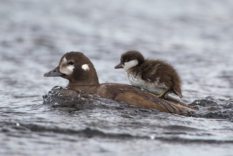 """""""Faster, Faster!""""<br /> <br /> A harlequin duckling (Histrionicus histrionicus) rides atop its mother.  Very cool to see this little one skitter up and climb aboard. Taken at Lake Mývatn, Northeast Iceland."""