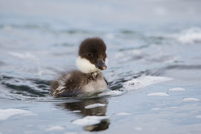 A Barrow's goldeneye duckling (Bucephala islandica).  Taken at Lake Mývatn, Northeast Iceland.