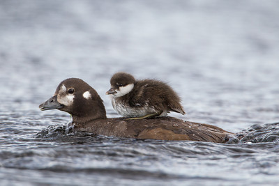 A harlequin duckling (Histrionicus histrionicus) rides atop its mother.  Taken at Lake Mývatn, Northeast Iceland.