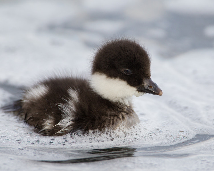 """""""Whitewater Duckling""""<br /> <br /> A Barrow's goldeneye duckling (Bucephala islandica). These little ones could skitter through the whitewater rapids without any troubles at all. Taken at Lake Mývatn, Northeast Iceland."""