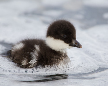 """""""Whitewater Duckling""""  A Barrow's goldeneye duckling (Bucephala islandica). These little ones could skitter through the whitewater rapids without any troubles at all. Taken at Lake Mývatn, Northeast Iceland."""