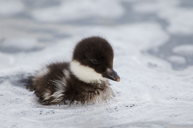 """""""Surrounded""""<br /> <br /> A Barrow's goldeneye duckling (Bucephala islandica). The little one is surrounded by frothy bubbles from cascades. Taken at Lake Mývatn, Northeast Iceland."""