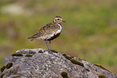 """""""In Tundra Colors""""  A European golden plover (Pluvialis apricaria) in early fall color. Taken in Jökulsárgljúfur National Park, Northeast Iceland."""