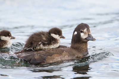 A harlequin duckling (Histrionicus histrionicus) rides atop its mother, with another duckling not far behind.  Taken at Lake Mývatn, Northeast Iceland.