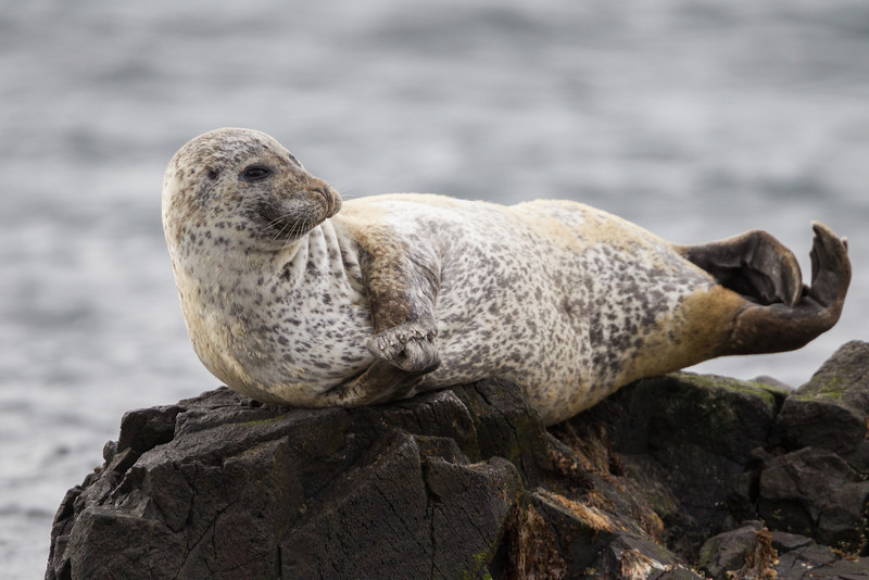 A harbor seal (Phoca vitulina). The animal is also known as the common seal. Taken on the Vatnsnes Peninsula, Northwest Iceland.