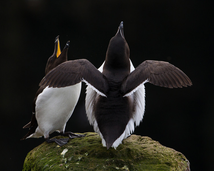 A pair of razorbill (Alca torda) displaying. Taken at the cliffs at Látrabjarg, Westfjords, Iceland.