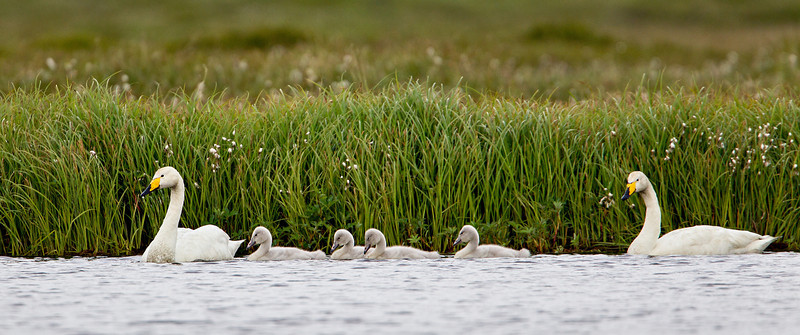 """Proud Parents of Four""<br /> <br /> A pair of whooper swans (Cygnus cygnus), proudly take their cygnets out for a paddle around the pond. Taken near Berufjörđur, West Fjords, Iceland."