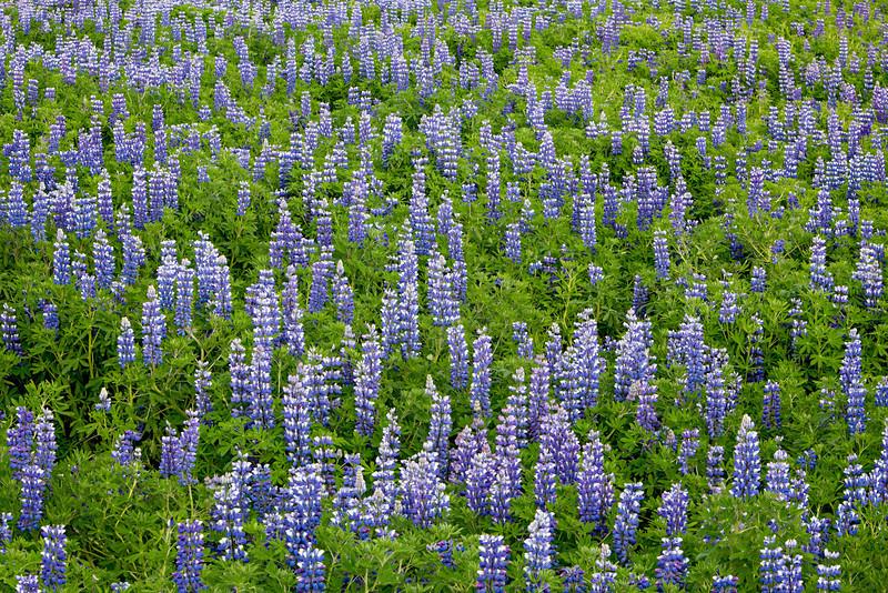 A field of Alaskan lupine (Lupinus nootkatensis). Taken near Hellisandur, Snaefellsnes Peninsula, West Iceland, Iceland.