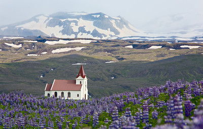 Ingjaldshóll church, with Alaskan lupine (Lupinus nootkatensis) in the foreground. Taken near Hellisandur, Snaefellsnes Peninsula, West Iceland, Iceland.