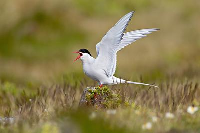 West Iceland Wildlife