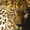 Jaguar National Zoo, Washington DC, only captive animal photograph in collection. Was one of the first images taken, over 25 years ago.