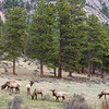 Rocky Mountain Elk Bulls in velvet