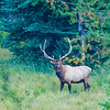 Bull Rocky Mountain Elk - Grand Teton National Park
