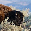 American Bison - Yellowstone National Park, WY